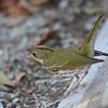 Ovenbird (Seiurus aurocapilla) Garden Key, Dry Tortugas NP, FL