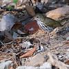 Ovenbird (Seiurus aurocapilla) Key West FL