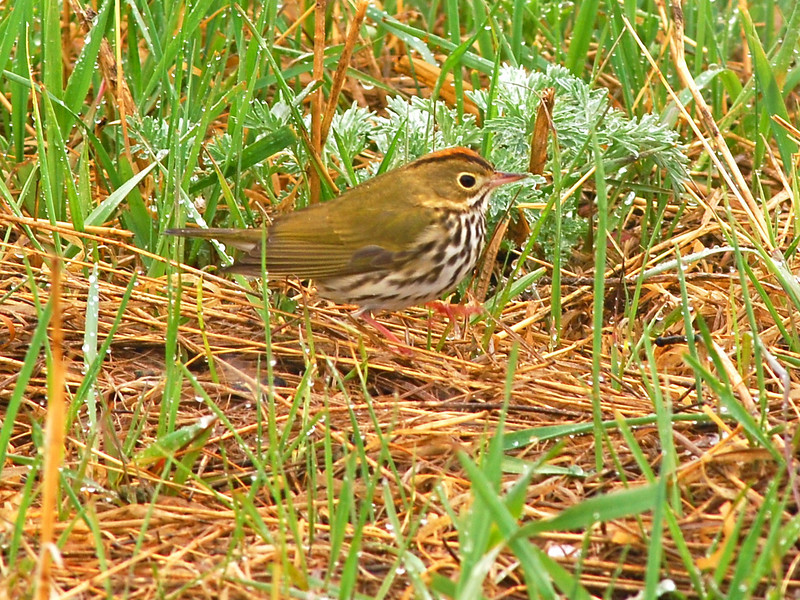 Ovenbird (Seiurus aurocapillus) Long Lake NWR, ND