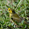 Hooded Warbler (Setophaga citrina) Garden Key, Dry Tortugas NP, FL