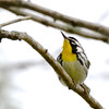 Yellow-throated Warbler (Setophaga dominica) Brownsville TX