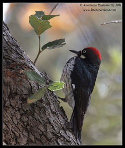 Acorn Woodpecker at the Madera Kubo feeders, Madera Canyon, Arizona, November 2011