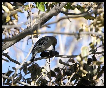 Gila Woodpecker at the Paton's feeders, Patagonia, Arizona, November 2011