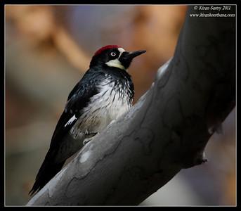 Acorn Woodpecker at the Madera Kubo feeders, Madera Canyon, Arizona, November 2011