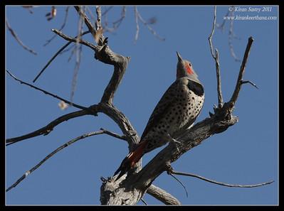 Northern Flicker at the Proctor Road Trail, Madera Canyon, Arizona, November 2011