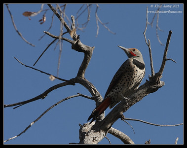 Northern Flicker at the Proctor Road Trail, Madera Canyon, Arizona, November 2011