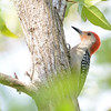 Red-bellied Woodpecker (Melanerpes carolinus) Fairchild Botanical Gardens, Coral Gables FL