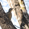 Ladder-backed Woodpecker 2