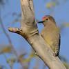 Gila Woodpecker (Melanerpes uropygialis) Phoenix, AZ