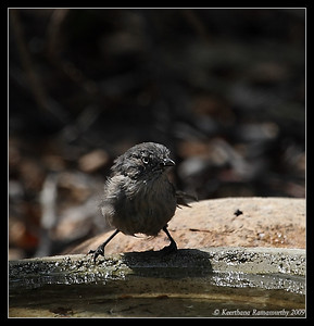 Wrentit, The Drip, Cabrillo National Monument, San Diego County, California, July 2009