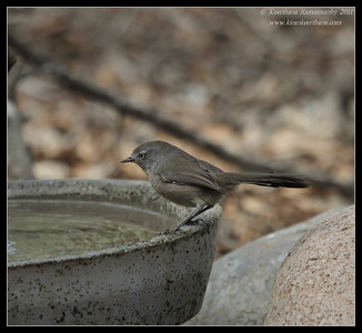 Wrentit, The Drip, Cabrillo National Monument, San Diego County, California, October 2011