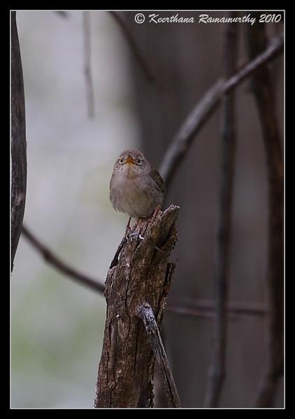 Rock Wren, Zion National Park, Utah, May 2010