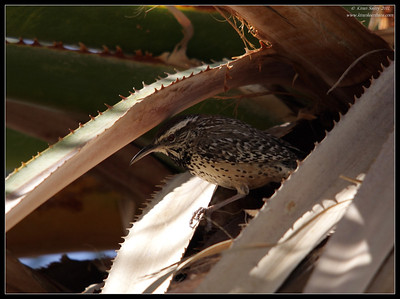 Cactus Wren male,  Thousand Palms, Palm Springs, California, March 2011