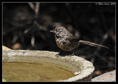 Wrentit, The Drip, Cabrillo National Monument, San Diego County, California, April 2010