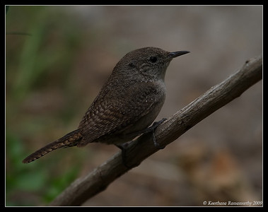 House Wren, Old Mission Dam, Mission Trails Regional Park, San Diego County, California, May 2009