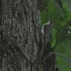 Brown Creeper (Certhia americana) Middleville MI