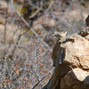 Rock Wren (Salpinctes obsoletus) Ladder Ranch, Hillsboro NM