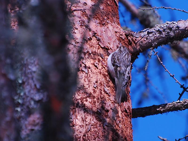 Brown Creeper (Certhia americana) Sax-Zim bog, St. Louis Co. MN