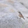Rock Wren (Salpinctes obsoletus) Alta UT