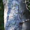 Brown Creeper (Certhia americana) Windy Hill Open Space Preserve, San Mateo Co.,  CA
