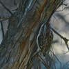 Brown Creeper (Certhia americana) Mandan ND