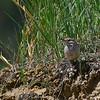 Rock Wren (Salpinctes obsoletus) Medora ND