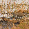 Spotted Sandpiper (Actita macularia) Raymondville, TX, mobbing Plain-bellied Watersnake (Nerodia erythrogaster)