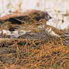 Spotted Sandpiper (Actita macularia) Raymondville, TX