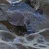 Wandering Tattler (Tringa incana) La Jolla, CA