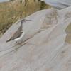 Spotted Sandpiper (Actitus macularius) Point Pelee, Ontario, Canada