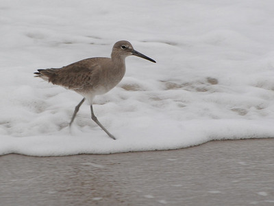 Yellowlegs, Willet, Tatlers and Solitary Sandpiper
