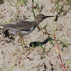 Spotted Sandpiper (Actitis macularia) Fort M;yers, FL