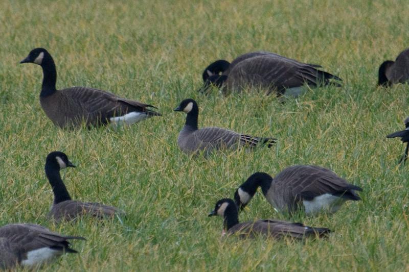 Anatidae; Goose; Branta hutchinsii mimima<br />  Cackling Goose, Victoria, BC, Dec 13, 2010
