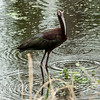 0073-0034 White-faced Ibis, Brazos Bend, May 07, 2006