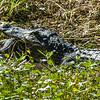 0071-0041 American Alligator, Brazos Bend, April 30, 2006