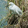 0073-0073 Snowy Egret, Brazos Bend, May 07, 2006