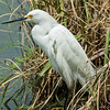 0073-0094 Snowy Egret, Brazos Bend, May 07, 2006