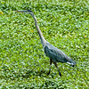 0073-0049 Great Blue Heron, Brazos Bend, May 07, 2006