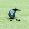 0073-0026 Green Heron, Brazos Bend, May 07, 2006