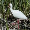 0071-0071 0071-0071 White Ibis, Brazos Bend, April 30, 2006, April 30, 2006