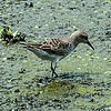 0073-0047 Semipalmated Sandpiper, Brazos Bend, May 07, 2006