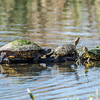 415-8494 Red-eared Slider, Brazos Bend, January 23 2017