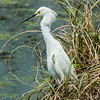 0073-0068 Snowy Egret, Brazos Bend, May 07, 2006