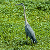 0073-0052 Great Blue Heron, Brazos Bend, May 07, 2006