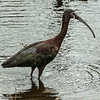 0073-0032 White-faced Ibis, Brazos Bend, May 07, 2006