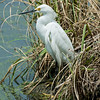 0073-0087 Snowy Egret, Brazos Bend, May 07, 2006