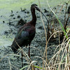 0073-0031 White-faced Ibis, Brazos Bend, May 07, 2006