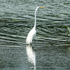 0073-0101 Great Egret, Brazos Bend, May 07, 2006