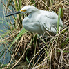 0073-0081 Snowy Egret, Brazos Bend, May 07, 2006