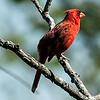 0071-0064 Northern Cardinal, Brazos Bend, April 30, 2006